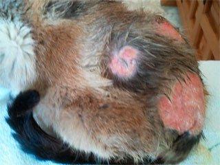 La Dermatitis Alérgica a la Picadura de Pulgas