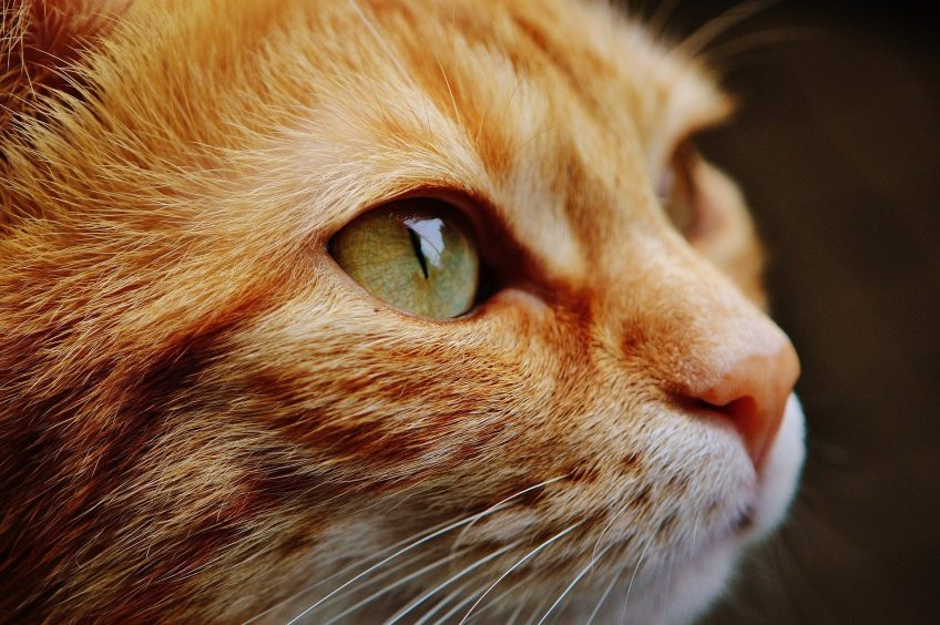 leucemia felina, hospital veterinario benipeixcar